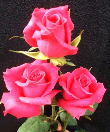 水蜜桃玫瑰简笔画
